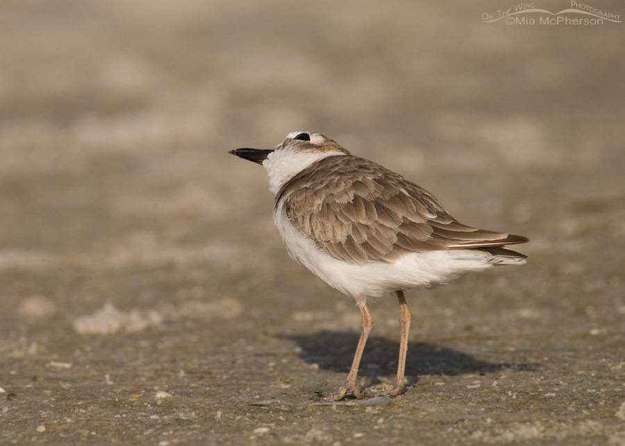 Wilson's Plover with an eye on the sky