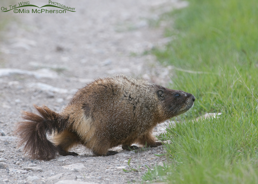 Yellow-bellied Marmot crossing a dirt track