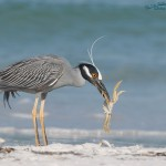 Yellow-crowne Night Heron with a Ghost Crab