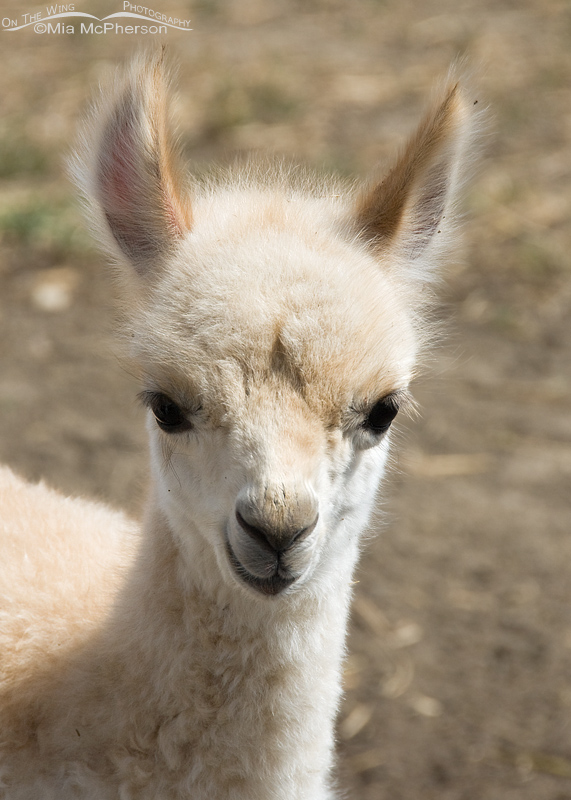 Two day old Alpaca