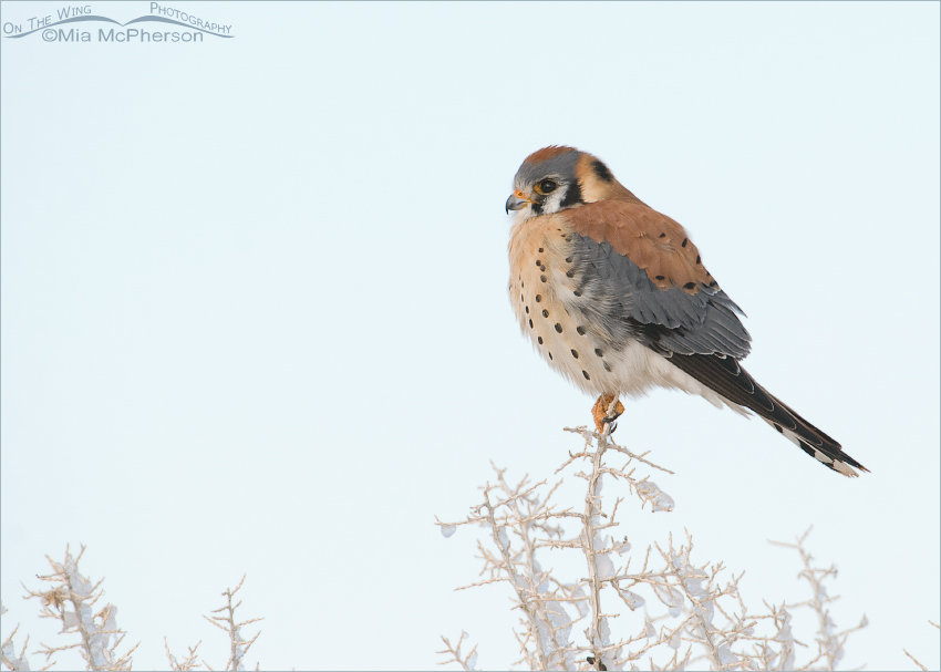 Male American Kestrel on Antelope Island
