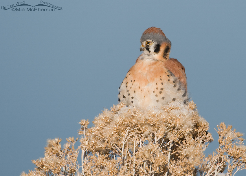 Even American Kestrels can look goofy
