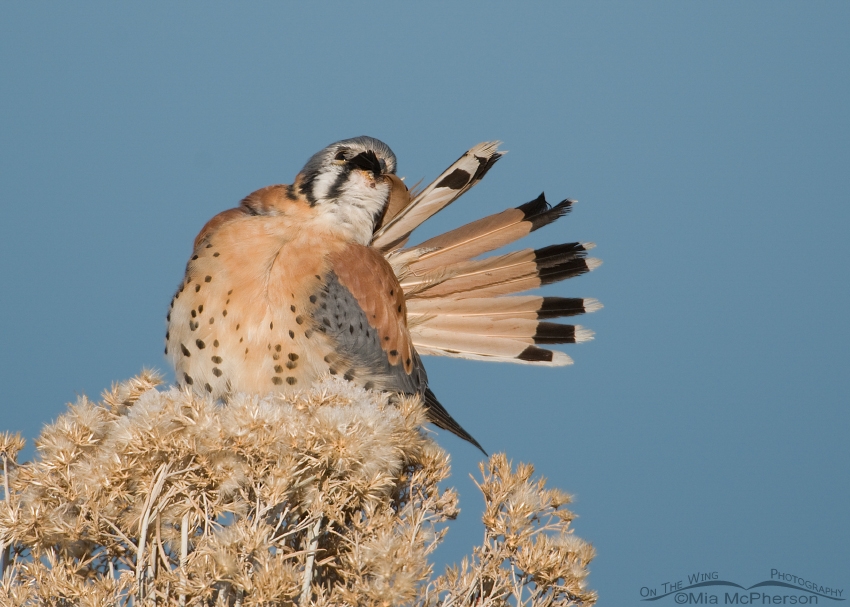 American Kestrel preening its tail feathers