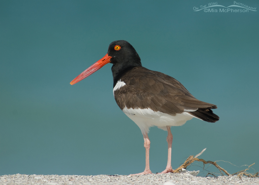 American Oystercatcher adult