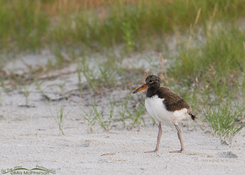 Twenty-one day old American Oystercatcher chick