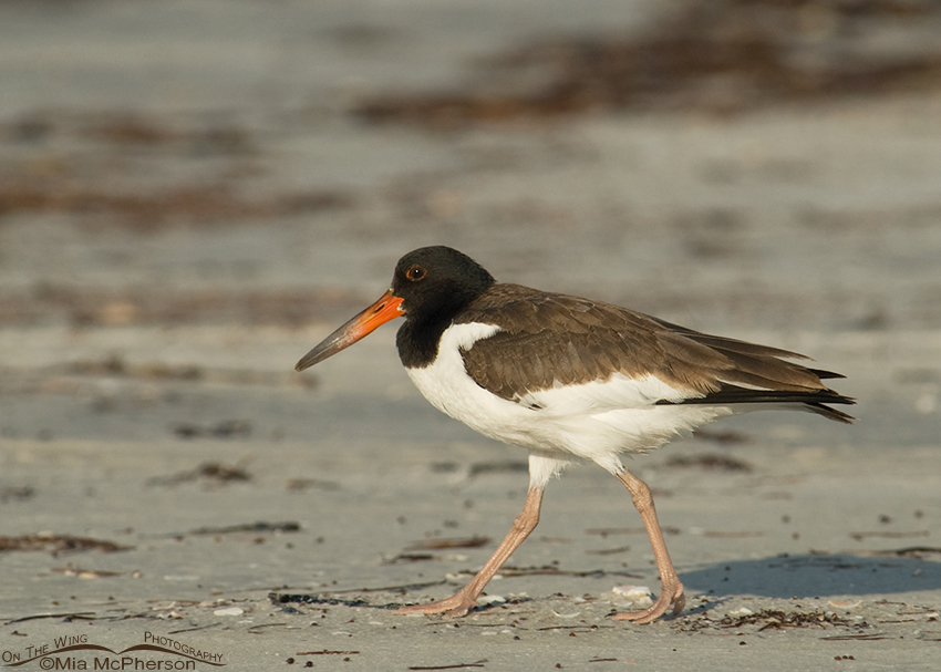 Seventy-three day old American Oystercatcher