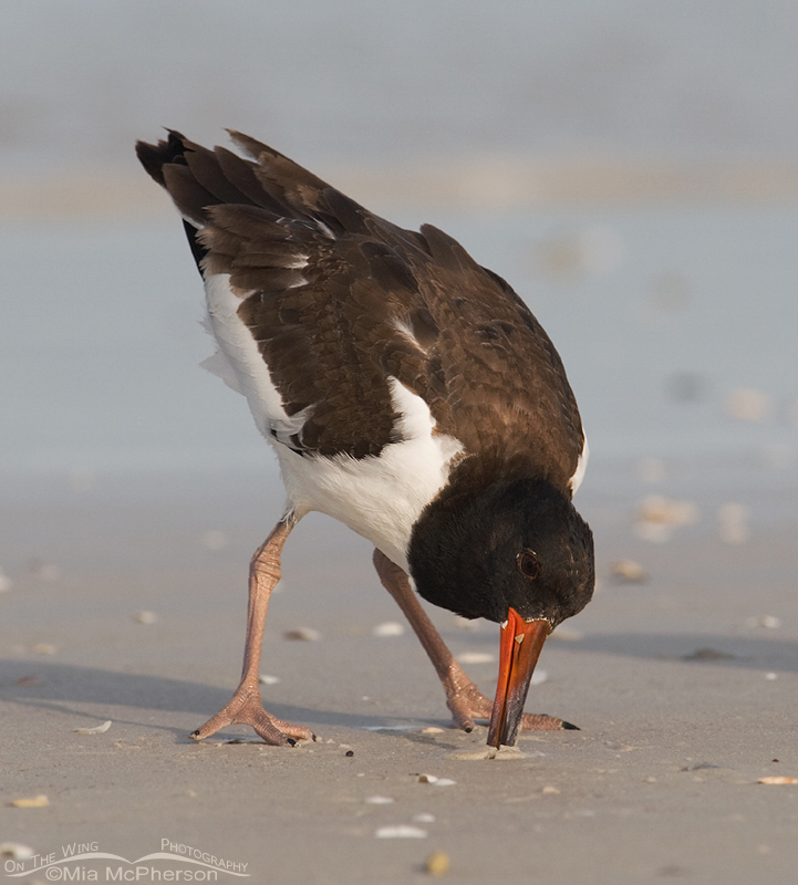 79 day old American Oystercatcher foraging