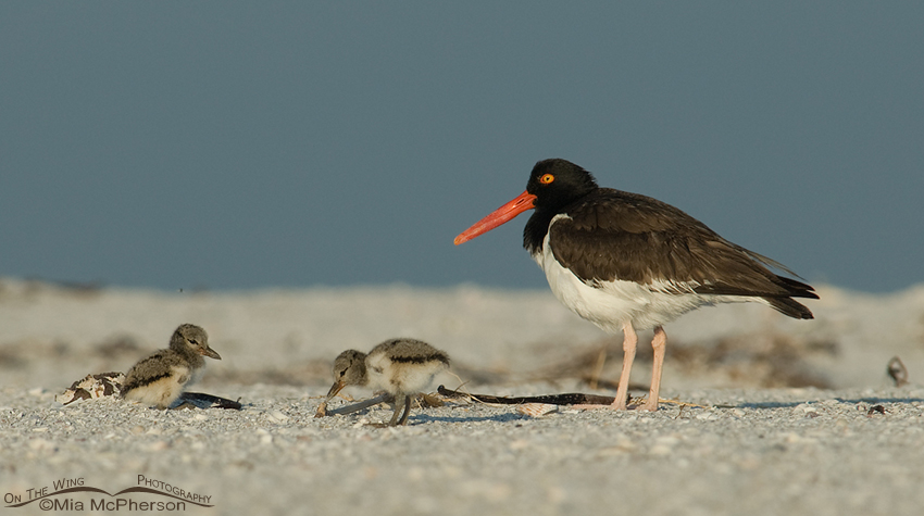 american-oystercatcher-chicks-mia-mcpherson-2753