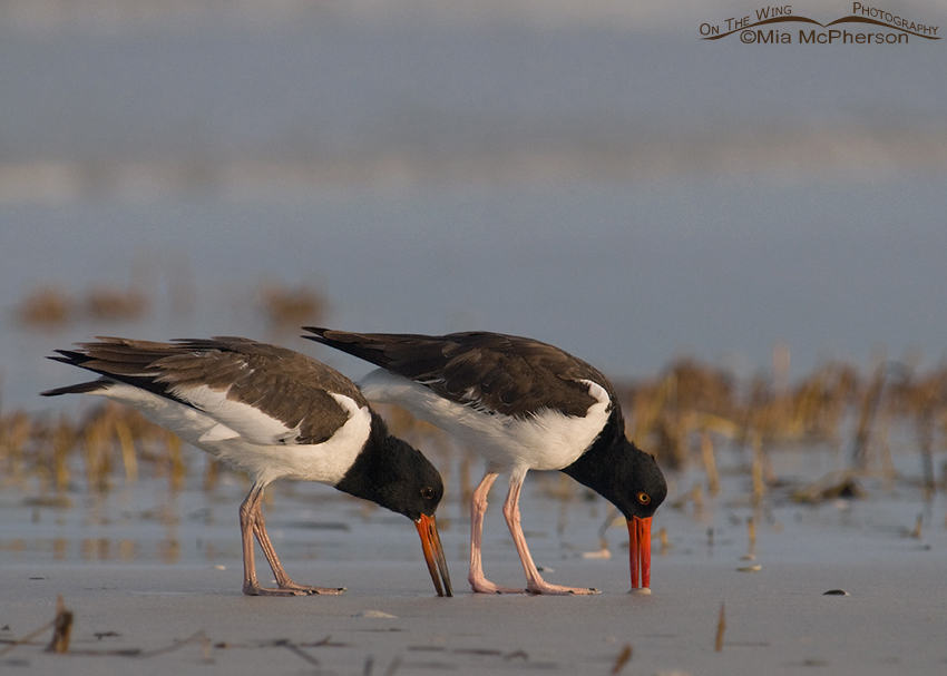 Seventy-nine day old American Oystercatcher with adult