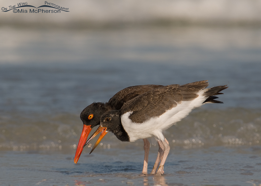 Adult and juvenile American Oystercatchers