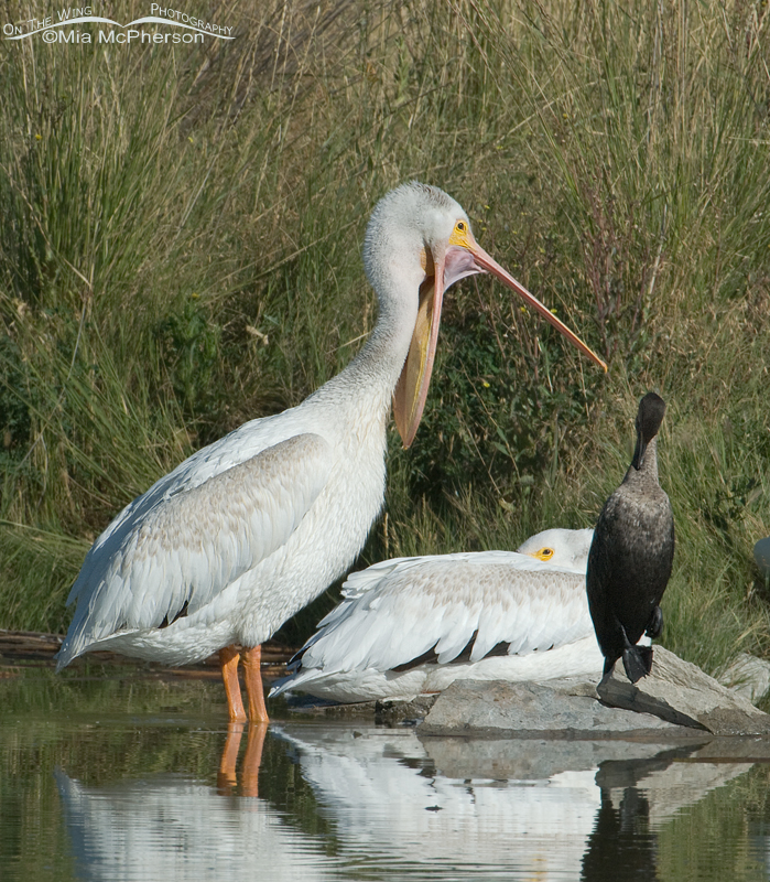 American White Pelican with bill open wide