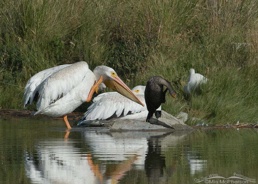 American White Pelican and Double-crested Cormorant scratching