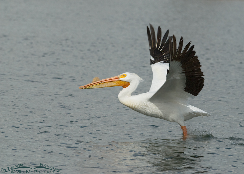 American White Pelican lifting off