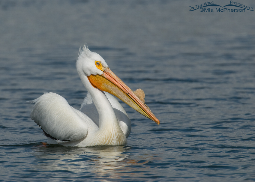American White Pelican in Salt Lake County, Utah