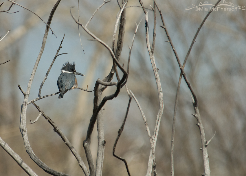 Belted Kingfisher, small in frame
