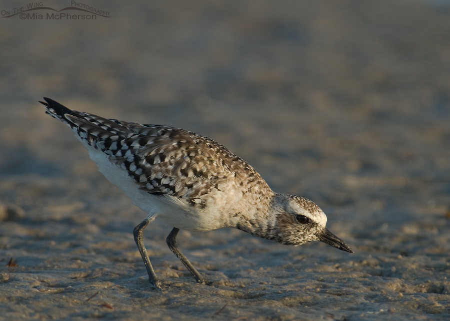 Black-bellied Plover on the hunt
