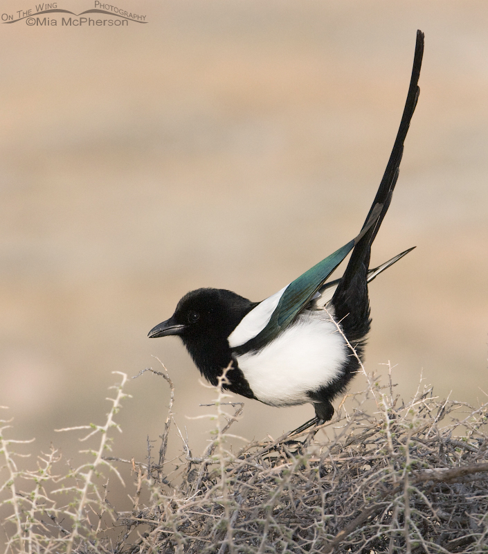 Black-billed Magpie displaying