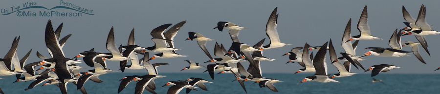 Flock of Black Skimmers in flight