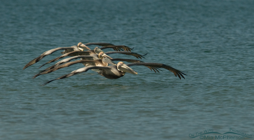 Brown Pelicans flying in formation