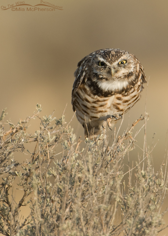 A ferocious looking juvenile Burrowing Owl