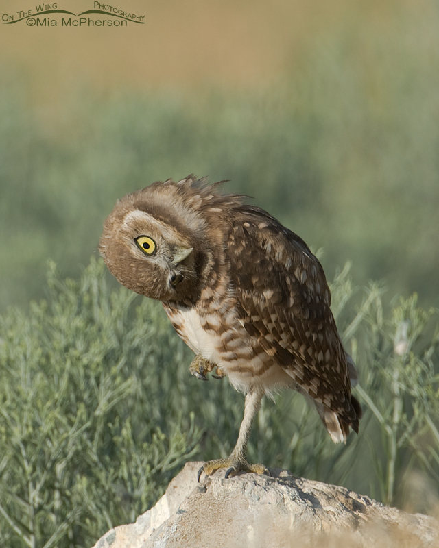 Juvenile Burrowing Owl parallaxing