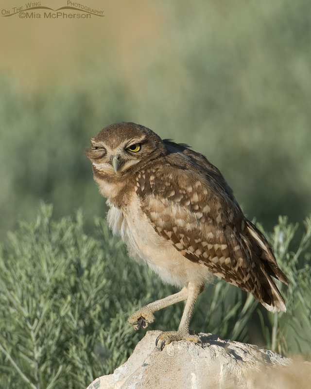 Winking Burrowing Owl juvie