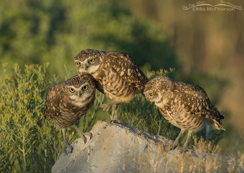 Three Burrowing Owl juveniles