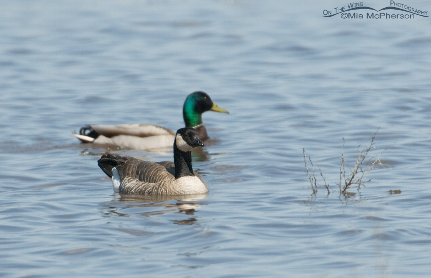 Cackling Goose with mallard behind it