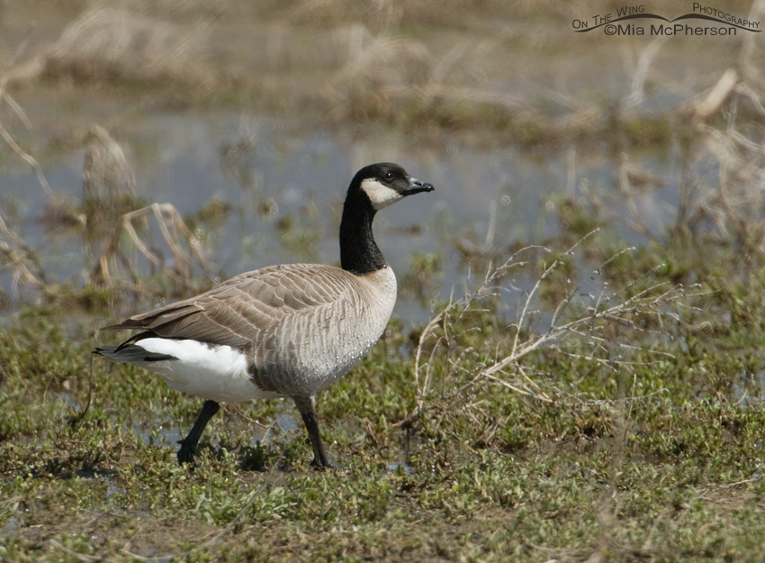Cackling Goose walking along a flooded field