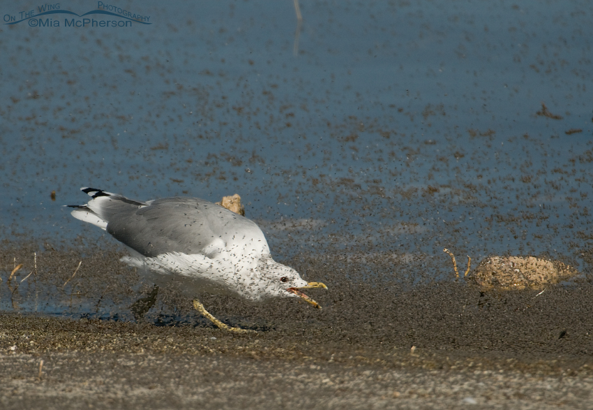 California Gull chasing brine flies with its bill open
