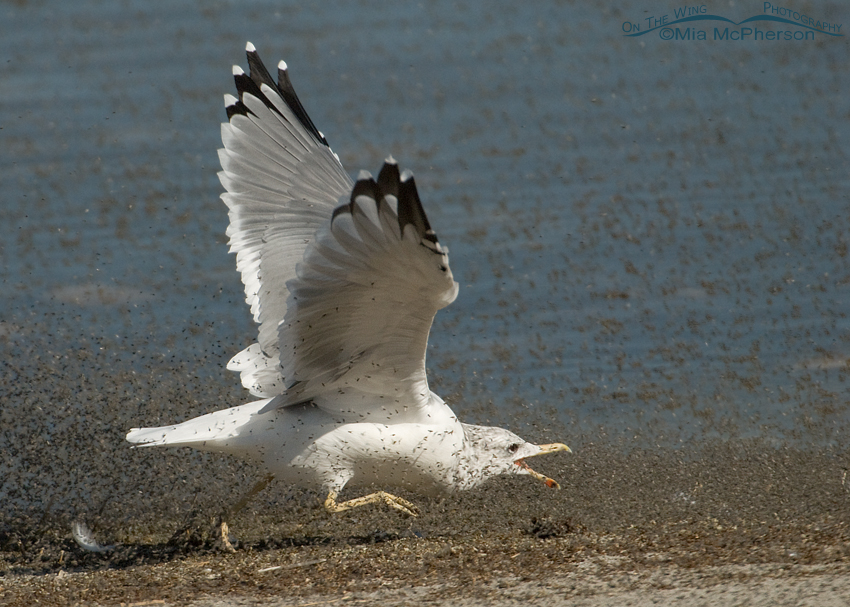 California Gull running after brine flies
