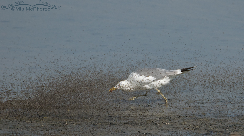 California Gull chasing Brine Flies