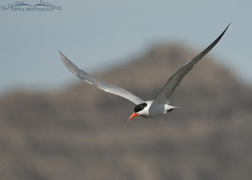 Caspian Tern in flight with the Fish Springs Mountain Range in the background