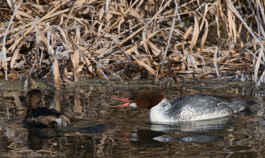 Common Merganser being aggressive towards a Pied-billed Grebe