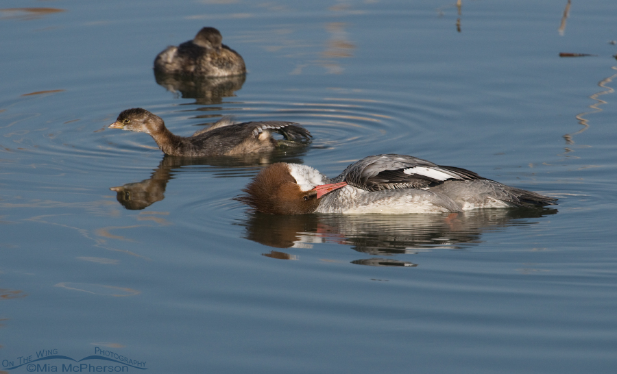 A preening Common Merganser in a funny pose