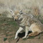coyote-getting-up-6589