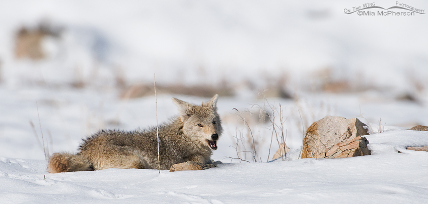 Male Coyote eating something while laying in the snow