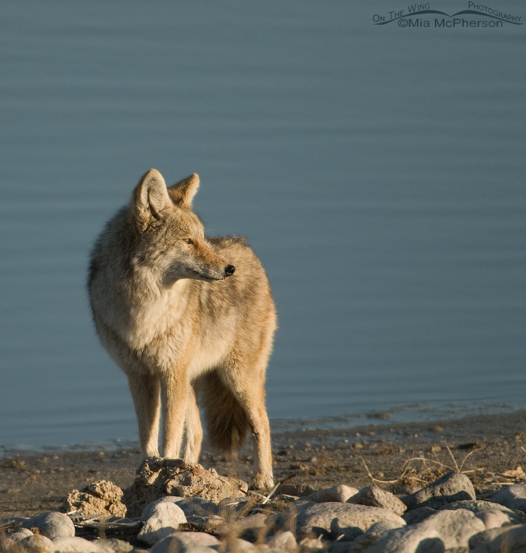 Coyote looking towards the east