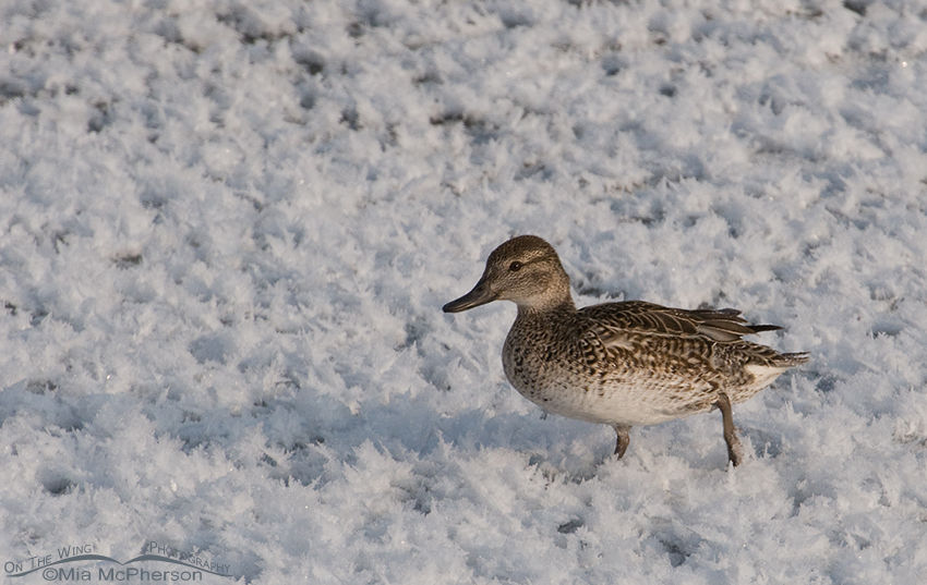 Female duck ID