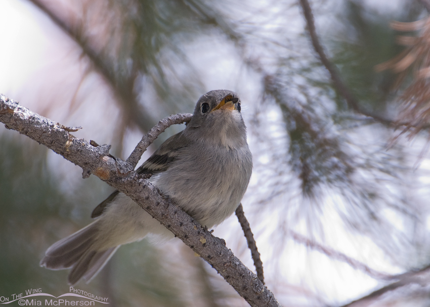 Juvenile Flycatcher with pine beetle