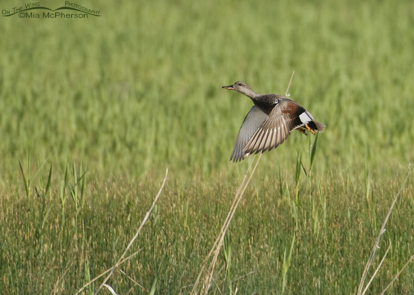 Gadwall in flight