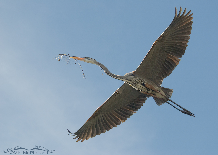 A Great Blue Heron's gift