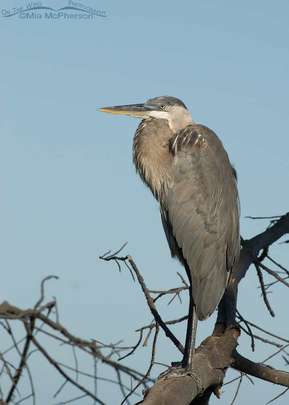 Great Blue Heron perched on a snag