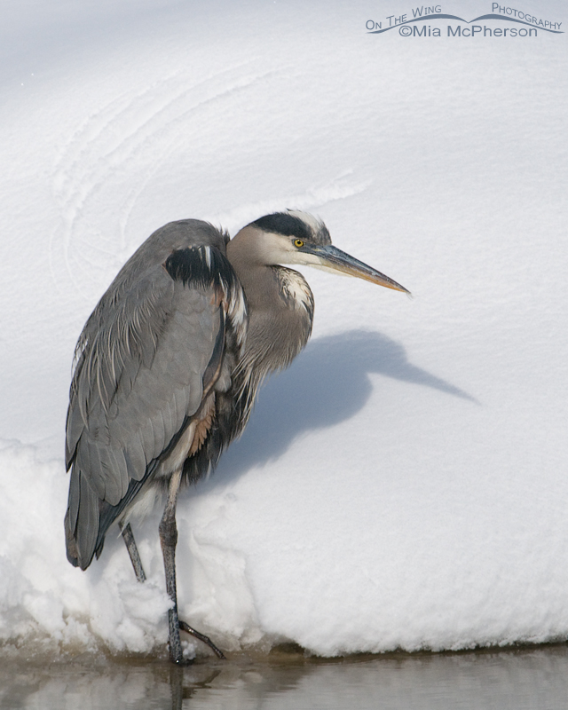 A Great Blue Heron on a January day in Utah