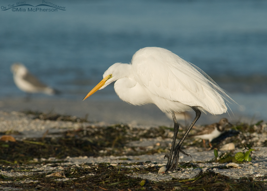 Great Egret foraging the wrack line