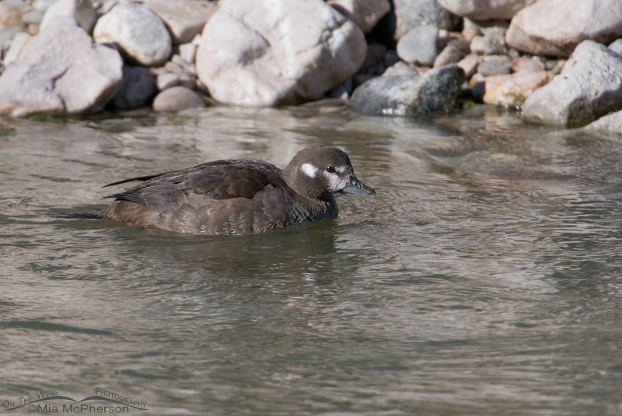 Harlequin Duck female