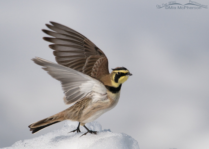 Horned Lark and a broken heart