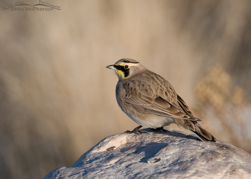 Horned Lark (Eremophila alpestris) male