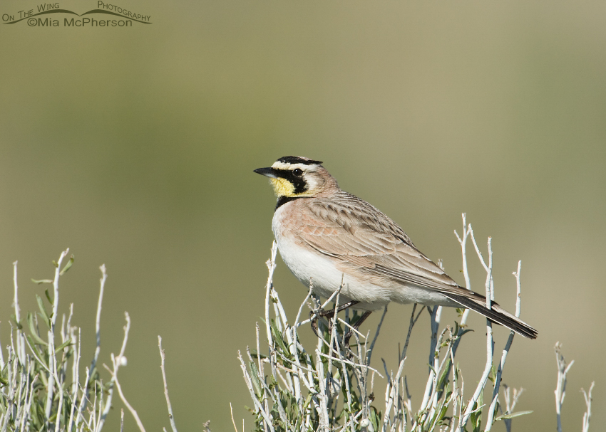 Horned Lark male on Rabbitbrush