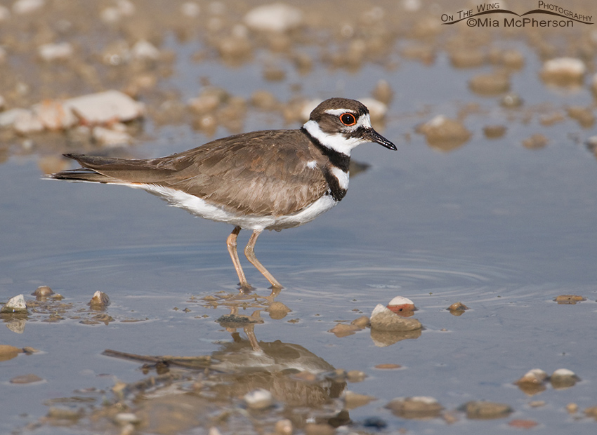 Killdeer bathing